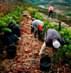 Roga picking grapes
