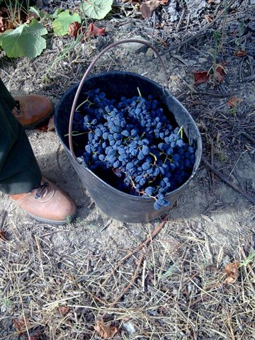 Freshly picked Barroca on its way to the winery