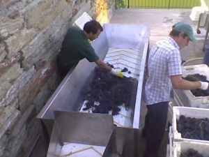 Fonseca hand selecting bunches