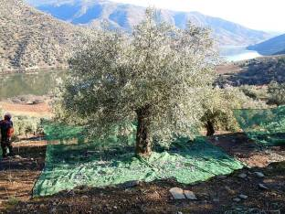 First we spread nets around the base of the tree. Notice along the edge of the terrace the net is pegged up on stakes to prevent the olives rolling away over the edge.