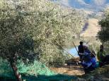 The team then have a good old fashioned bash and rattle at the tree with wooden poles, to make the olives drop off.
