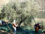 Modern technology then steps in and two men work with varejadores to shake down the olives. What's a varejador, I hear you say...