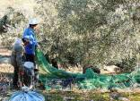 The leaves are swept away and the olives gathered together in the net then transferred into sacks.