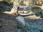 Sacks of harvested olives are left under every tree or two, just as crates of grapes were left in the vineyard ...