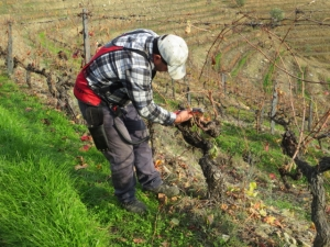Every vine is pruned by hand, using electric secateurs