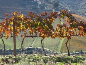 Tinta Amarela at Quinta do Tua shows the results of good pruning last winter
