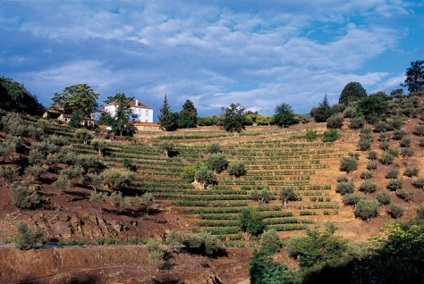 The north-facing Vinha dos Cardenhos, behind the Quinta house at Malvedos