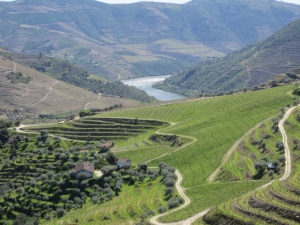 Vertically planted vineyards at the western end of Graham's Quinta dos Malvedos