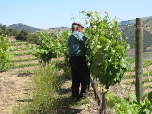 Tucking the vines into the dual wires of the trellis