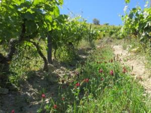 Deep pink clover in the vertical vineyards at Quinta dos Malvedos