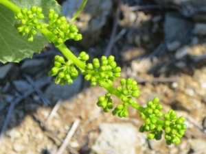 Before flowering yellow-tipped buds on the to-be grape bunches