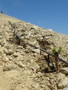Drip irrigation of the newly planted Sousão at Quinta dos Malvedos