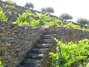 We have begun the gradual renovation of the plantings in the old walled vineyard at Quinta do Tua