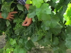 Alexandre showing the healthy grapes and foliage of Tinta Amarela at Quinta do Tua