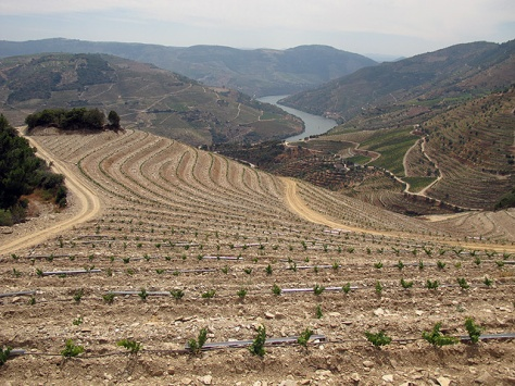 The replanted vineyard at the northwestern corner of Malvedos.