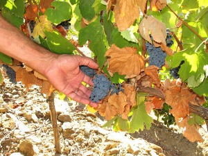 Touriga Nacional grapes at Quinta do Tua: note the small size of both the bunch and the berries - a sure sign of quality.