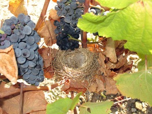 A small birds nest, nestling among the vines at Tua; a testament to Graham's policy of sustainable viticulture.