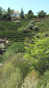 Despite the drought of the last three months, Quinta dos Malvedos displays verdant vegetation.