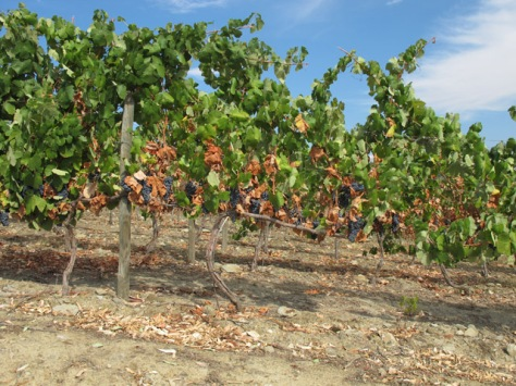 Note how it is the lower layers of leaves that the vines sacrifice first, when subjected to hydric and thermal stress.