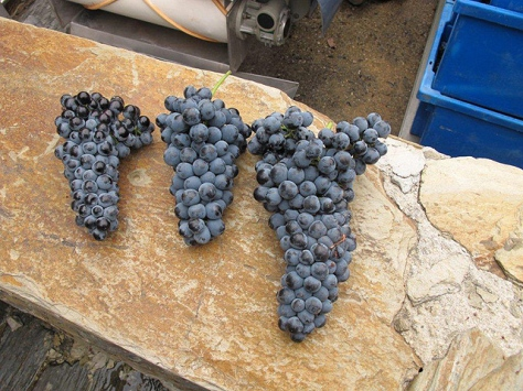 Some of the very first bunches of splendid looking Touriga Nacional grapes reached the winery early morning on Tuesday.