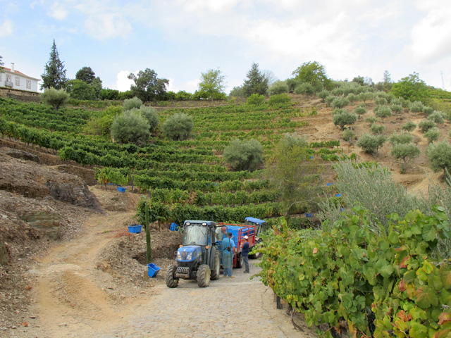 The small North-facing Cardenhos vineyard (located just behind the house at Malvedos), about to be harvested, early Thursday morning.