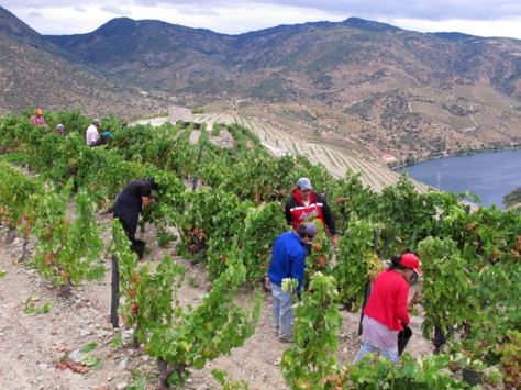 Picking an old mixed block (with primarily Tinta Roriz grapes) at Vale de Malhadas, just before the heavens opened...
