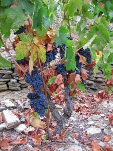 A 35 year old vine (mixed block) at Vale de Malhadas, just before its grape bunches were picked.