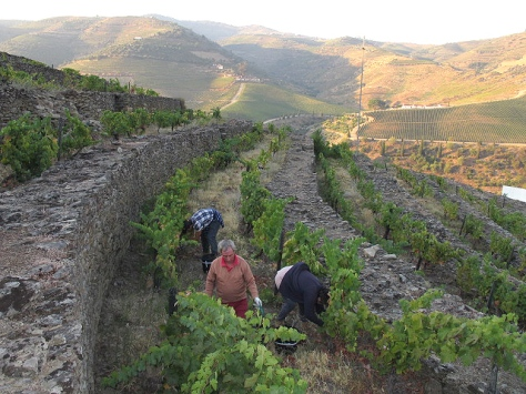 7:30 am high up on the old stone terraces at Tua, picking grapes from vines that are over 60 years old.