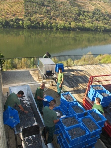 The grapes are hand-sorted on a conveyor.