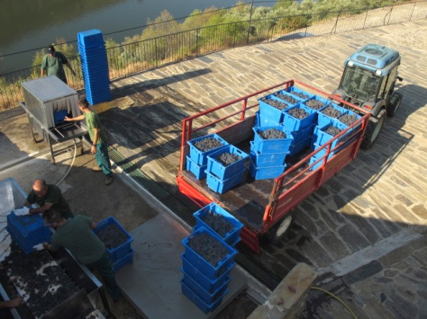 The very first grapes of the 2013 harvest arrive at the Malvedos winery.