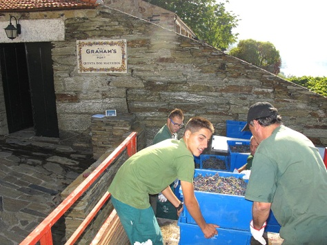 Tiago and Carlos unload the trays of grapes as Juca prepares to tip them onto the sorting table, or conveyor.