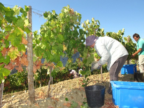 Picking the first Tinta Amarela grapes of the Graham's Port harvest at Quinta do Tua.