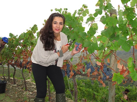 Sancha gets stuck in eraly Saturday morning, helping to harvest the Touriga Nacional at Malvedos.