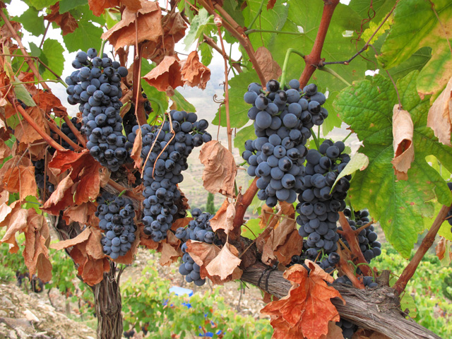Charles and Henry are encouraged (not to say relieved) that the Touriga Nacional grape sat Malvedos have weathered the rain very well indeed; the bunches are ripe and healthy.