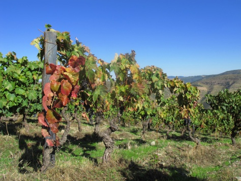 One of the oldest mixed blocks at Lages, planted in 1985, now a full mature vineyard, providing very good quality grapes.