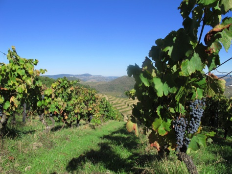 Organically farmed grapes: we have a 4 hectares at Lages, planted in 1989.