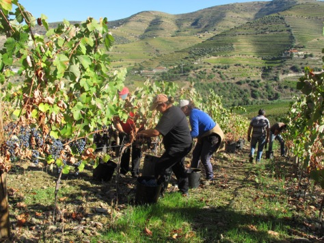This week we checked on progress in Graham's other  vineyards. Here, pickers in action at Quinta das Lages in the Rio Torto Valley.