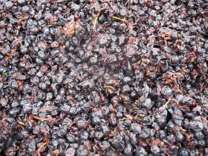 Freshly crushed Touriga Franca grapes about to be trodden in the lagar.