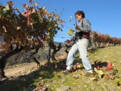 One of the Malvedos team of skilled labourers pruning the vines and removing the spent