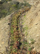 Spent leaves and canes left behind two rows of vines to await shredding.