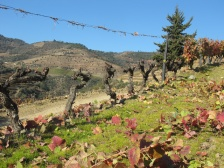 A row of pruned vines at Malvedos