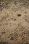 Wild boar footprint at Quinta do Vale de Malhadas