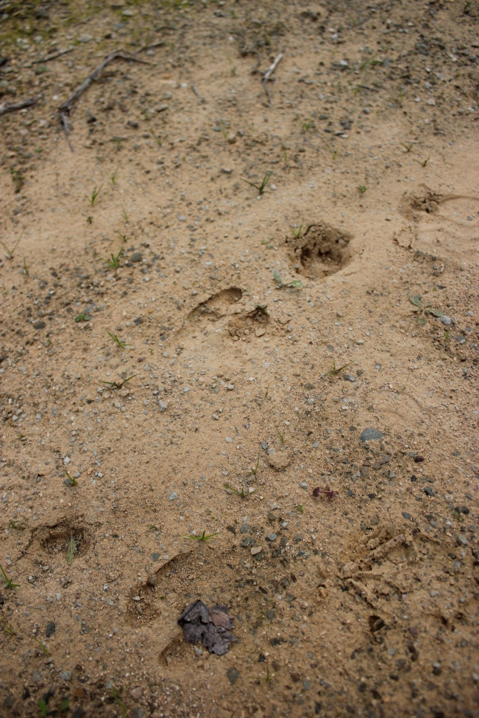 Wild Boar in the Vineyards at Graham's Quinta do Vale de Malhadas
