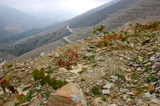 The young vines on the hillside above the river.