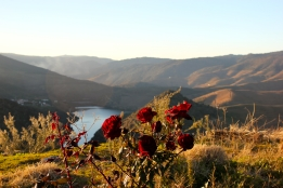 Graham's plants roses amongst the vines throughout its properties to help diagnose the early stages of Powdery Mildew.