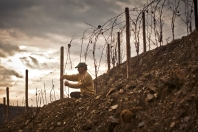 The winter pruning at Graham's Quinta dos Malvedos is still all done by hand, for good reason.