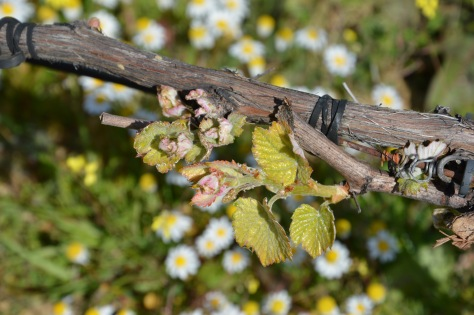 Bud break and early leaf formation on the vines at Malvedos a couple of weeks earlier than usual.
