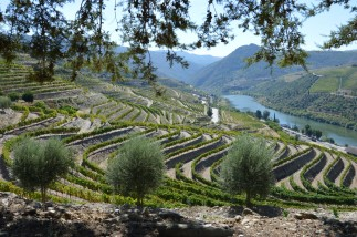 Graham's Quinta do Tua, looking east. In the foreground, the Touriga Nacional vineyard planted in 2008.