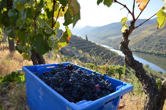 THE 2014 VINTAGE STARTS AT MALVEDOS