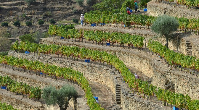 THE STONE TERRACES VINES HARVESTED THIS MORNING AT QUINTA DOS MALVEDOS